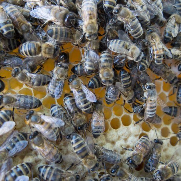 abeilles, essaim, nucléé